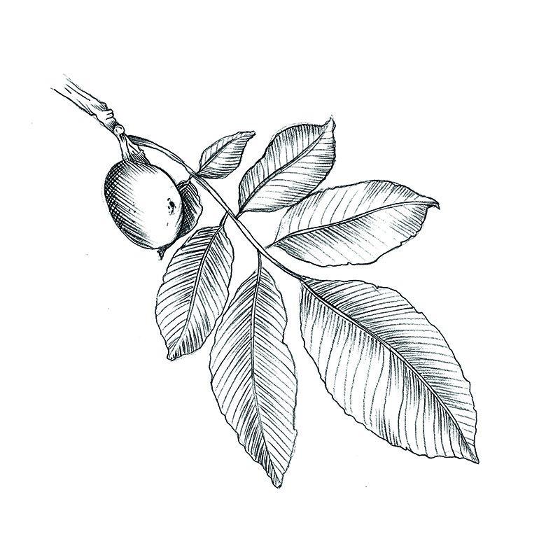 Réalisation d'un dessin au crayon de feuille et de noix par l'agence Le P'tit Zèbre Communication à Mâcon